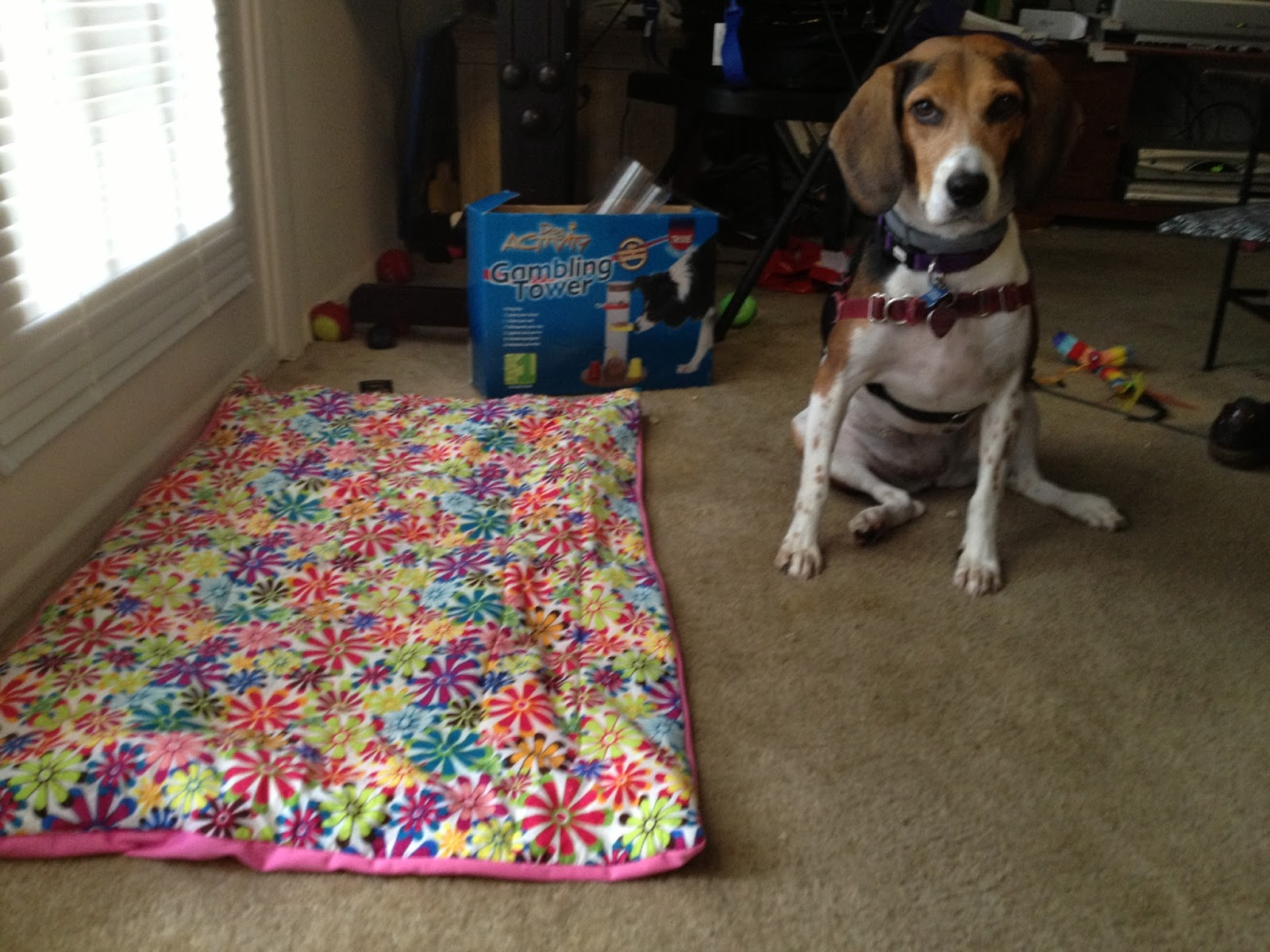Beagle peeing in house